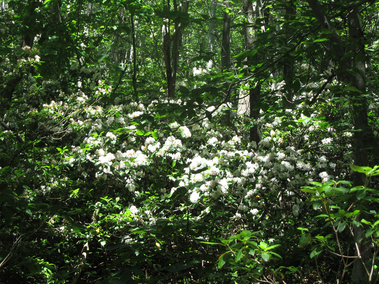 More Mountain Laurel on the Jeep trail