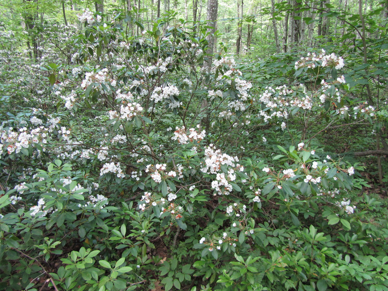 Mountain Laurel. I can honestly say there was 10,000 acres of these flowers all in bloom. It was beautiful.