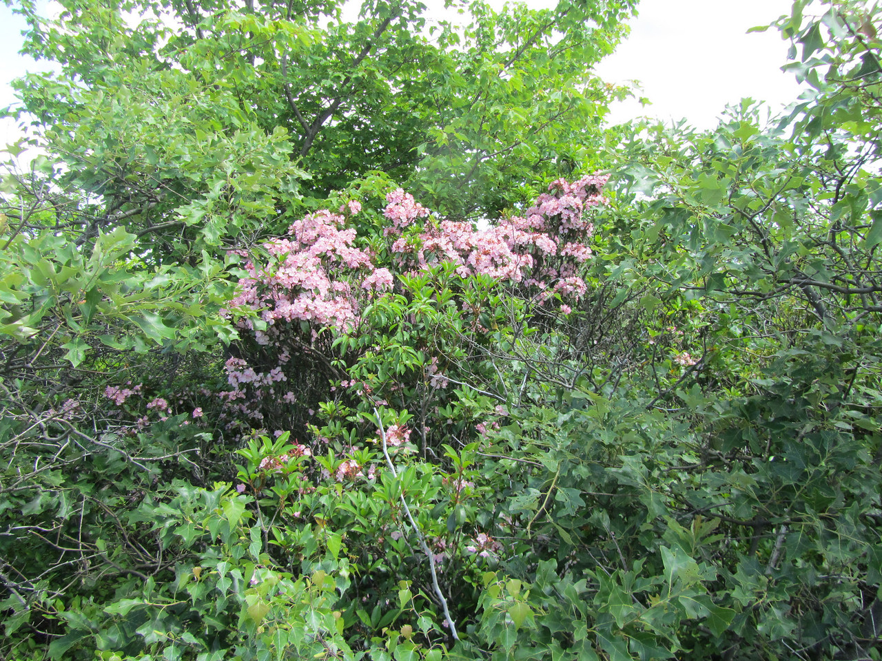 The Mountain Laurel on Round Mountain was a beautiful pink color. Once back down in the col to Frissell, it turned white again.