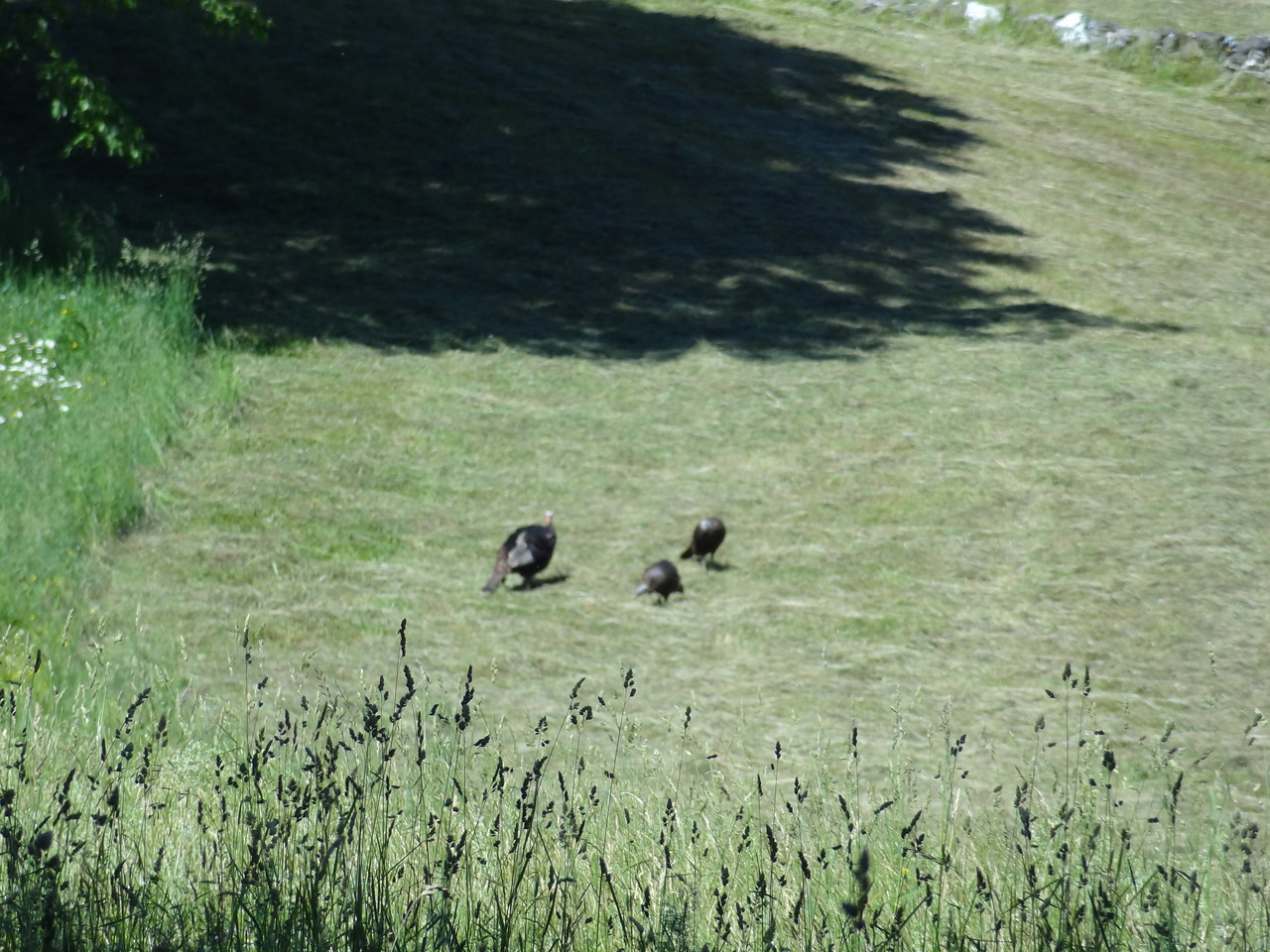 The wild turkey, or Meleagris gallopavo as I like to call them. A hen and two jakes.