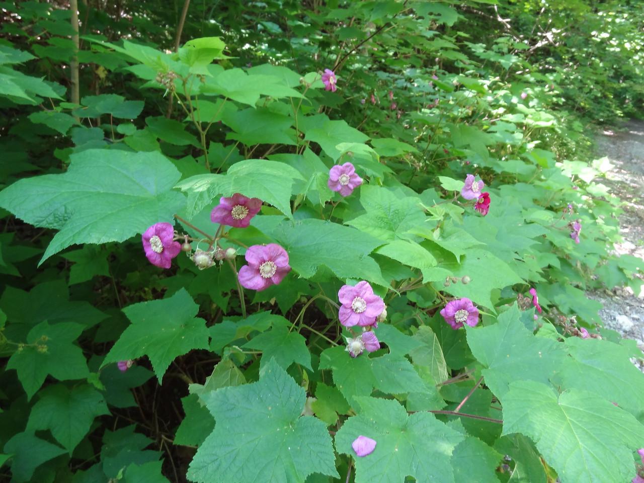 Purple Flowering Raspberry or Rubus odoratus as I like to call it.