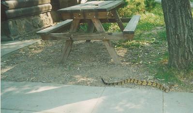 "36"" rattlesnake just outside of the MOC office"