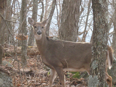Shenandoah National Park is polluted with deer.  Hunting is prohibited so the deer have no fear of humans.