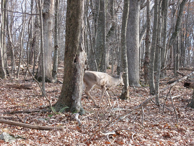 A 4-point buck that walked right towards me on the trail.