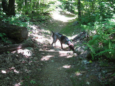 Jenny sniffing her way down the trail/