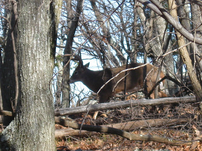 """This beautiful 8-point buck was rubbing his antlers on a 8"""" tree near the Black Rock vista."""