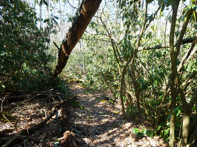 Rhododendron jungle along Stony Creek.