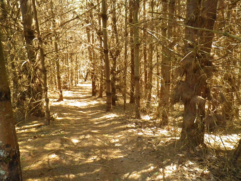 Pine forest near the end of Thursday's slack-pack hike.