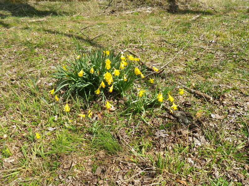 Wilted daffodils due to the freezing temperature overnight