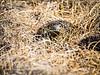 A mother Ptarmigan guards her nest on the ANWR coastal plain.