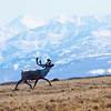 Here the caribou buck trots around, nose in the air to try to determine what we are.