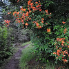 flame azaleas overhang the trail