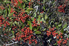 Toyon Berries<br /> <br /> Who says we don't have fall colors in California? <br /> This is also know as the California Christmas Berry