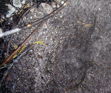 Look closely - a bear paw print on our trail....