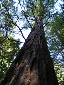 Here's an obligatory looking-up-at-the-redwood photo. The red bark, the green foliage, the blue sky--it was a lovely morning.