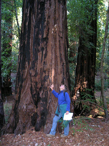 Ellen looks up at one of the larger redwoods alongside the trail.