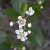 Malus coronaria...... <br /> Sweet Crab Apple tree. We had these in Virginia and I always called them lady apples. <br /> Basin Rock