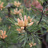 Close up of the flowers on pine tree at the brink of Ozone Falls.