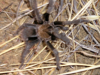 Tarantula! Including his spread legs, no more than the size of the palm of my hand.