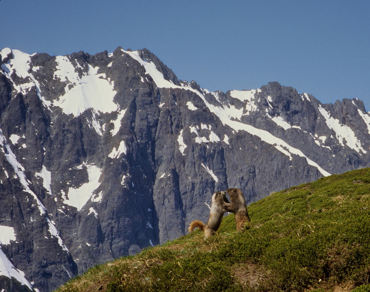 From the Sahale outing with Warner.  We thought these two marmots wanted to embrace but it turns out they wanted to box.