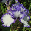Admire the delicate purple veining come off the edges of this iris. Wow.
