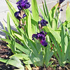 These iris were so deep purple that they looked almost black. In real life. Photo life is sometimes different.
