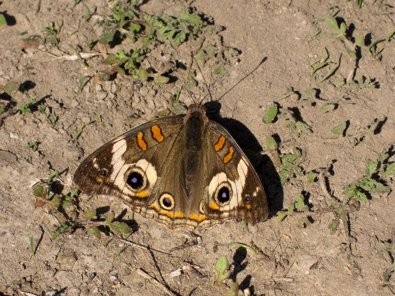 (Common) Buckeye (Junonia coenia) butterfly.