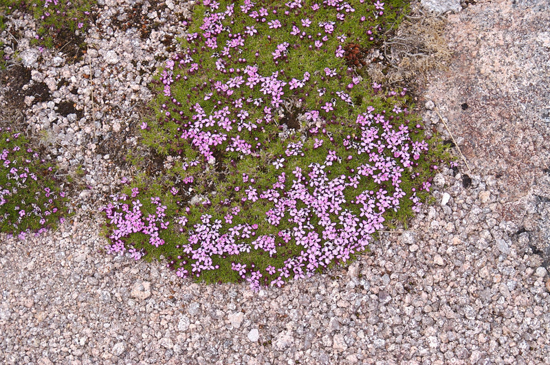 Alpine flower on Braeriach summit plateau (this may be Putoria Calabrica, which I remember also seeing high in the Pyrenees)