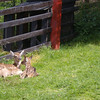 Two red deer calves were also in the paddock