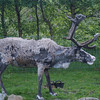 The next morning I went to the Reindeer paddock at Glen More...