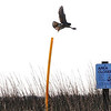 Peregrine Falcon launching from an orange PVC pipe on the ferry ride to Bull Island
