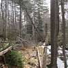 Here is a leaner.  also a spruce log that needs to be dragged off the trail.