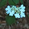 Witch Hobble (Viburnum lantanoides)