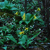 Trout Lilies (Erythronium umbilicatum) and Spring beauties (Claytonia caroliniana) just opening up