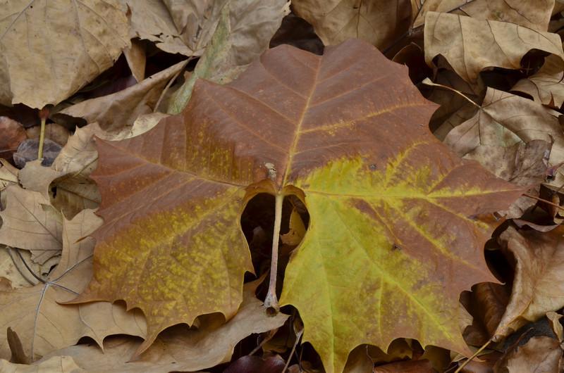 Pretty Sycamore leaf