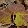 Pretty Sycamore leaf