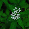 Four-leaved Milkweed (Asclepias quadrifolia), cooper Road Trail