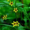 Whorled Loosestrife (Lysimachia quarrifolia)
