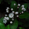 these Mountain Laurel blooms are on a plant only six inches tall