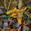 Cantharellus cibarius - Yellow or Golden Chanterelle