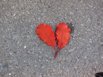 As we strolled together, we saw these beautiful leaves lying in the road. The only trees in sight in any direction were conifers. No idea where these came from.