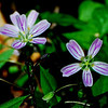 Spring Beauty (Claytonia caroliniana)