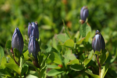 Bog Gentians in a meadow at about 5200 feet or so.