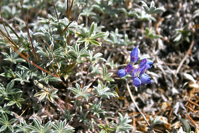 High altitude lupine. It has the same leaves and flower, just miniature!