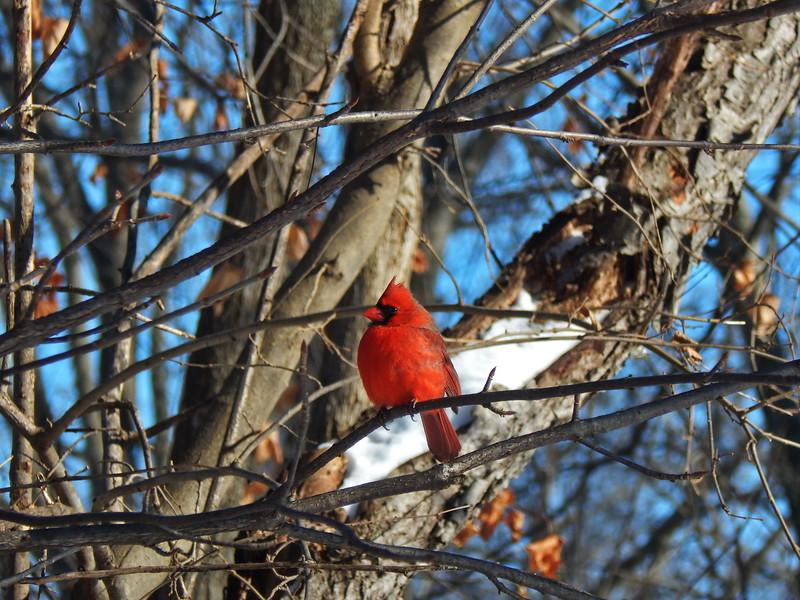 Cardinal on a tree branch
