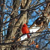 Cardinal on a tree branch
