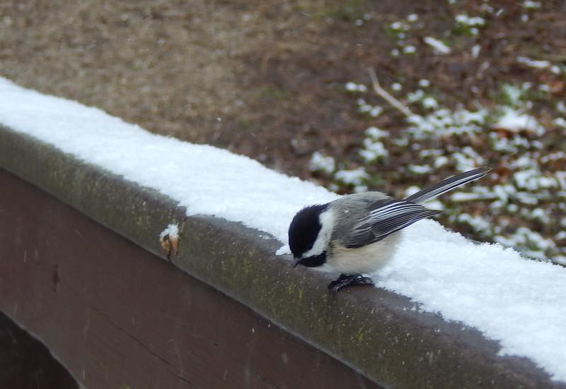 Chickadee on the bridge during winter
