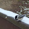 Chickadee on the bridge during winter
