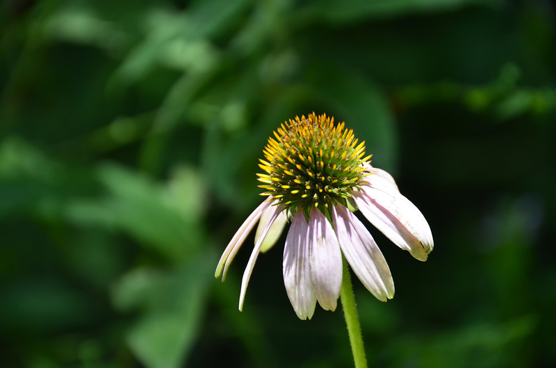 Echinacea - Purple Coneflower
