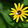Misumena vatia - Flower Crab Spider